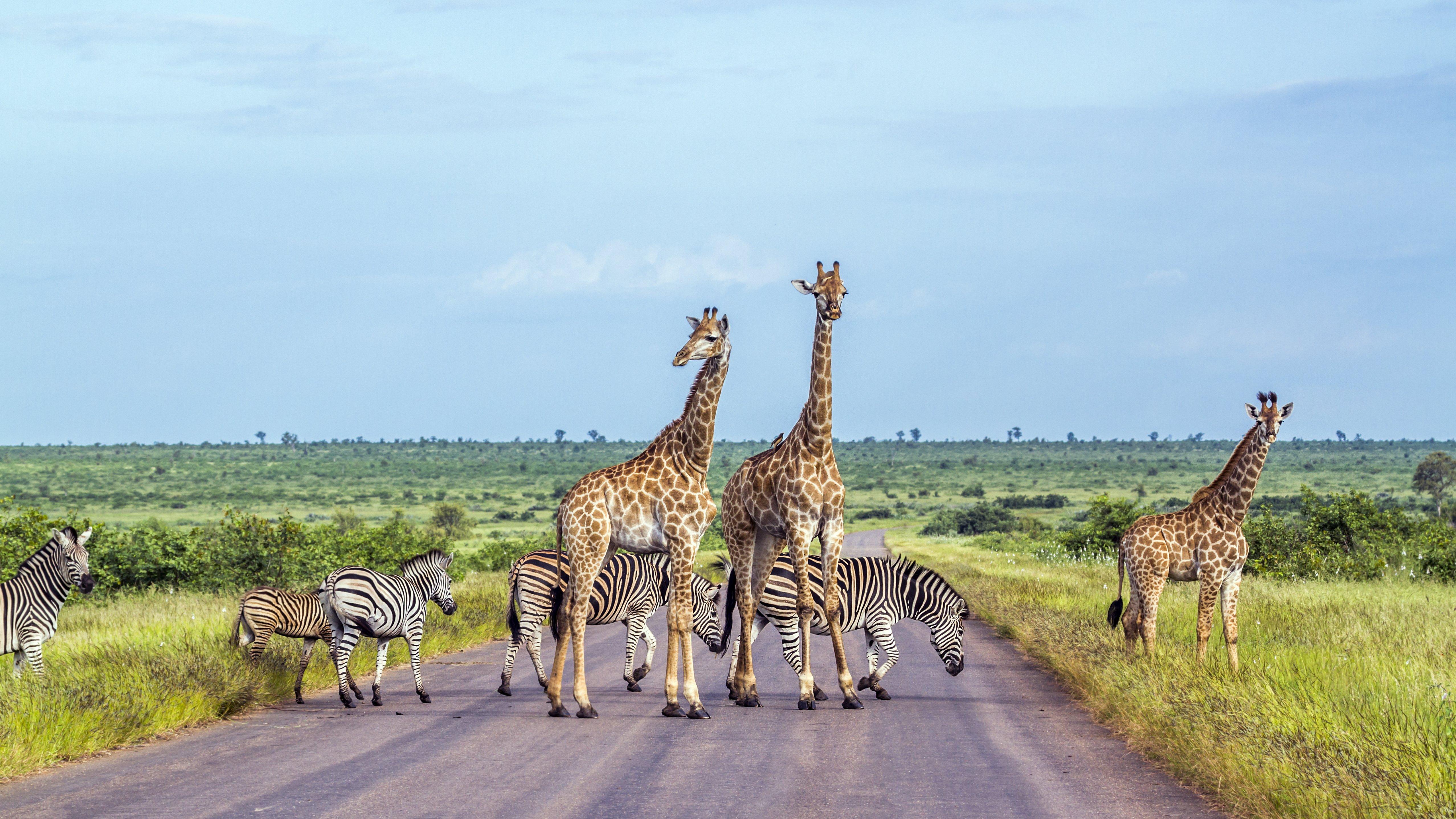 Süafrika - Krüger NP - Giraffen - Zebras-1